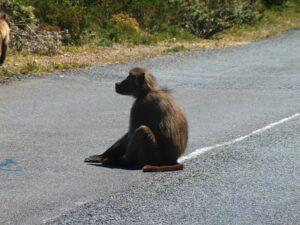 En babian sitter på en väg.